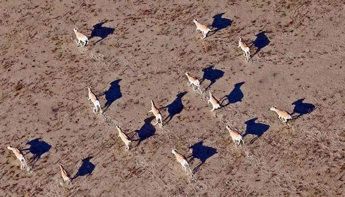 Kazakhstan sees rare antelope rebound after mass die off