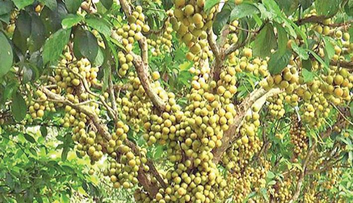 Farmers expect bumper Lotkan production in Narsingdi
