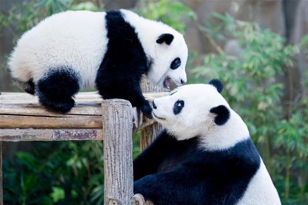 Zoo Negara giant pandas welcome third cub to the family