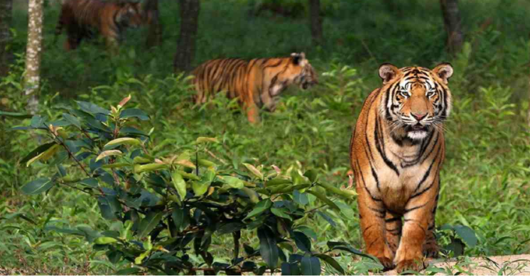 Poacher 'Tiger Habib' held after 20 yrs on the run
