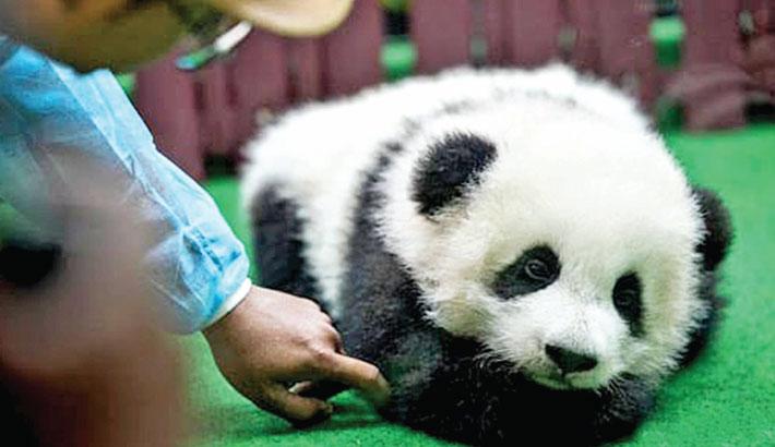 Third giant panda cub born in Malaysia