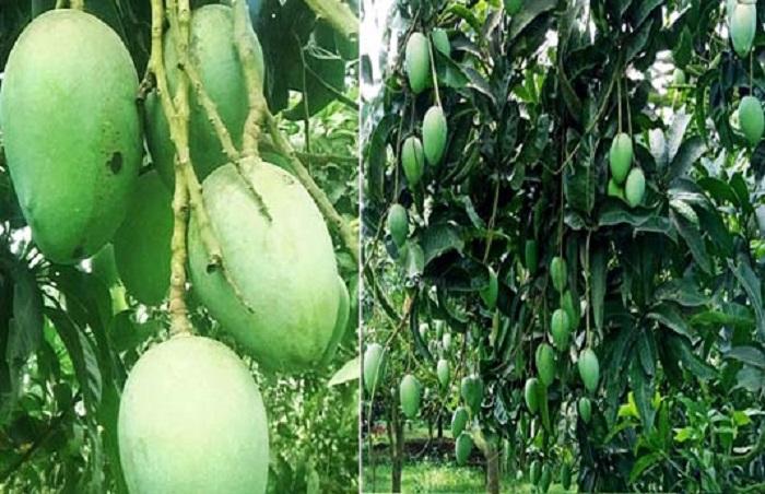 Farmers eying bumper 'Haribhanga' mango production