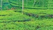 Tea production falls 10pc in 2020: Tipu Munshi