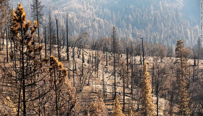 At least 10% of the world's giant sequoias lost in a single wildfire, report suggests