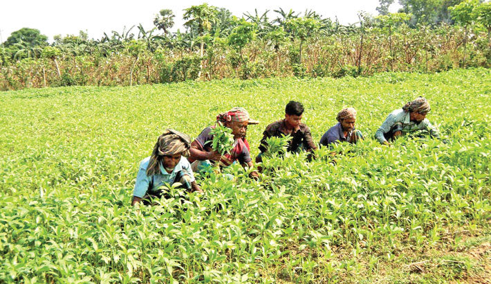 Farmers are taking care of jute plants