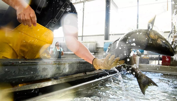 Drought-hit California scales up plan to truck salmon to ocean
