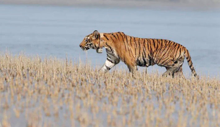 Tiger travels 100km to reach Bangladesh from India
