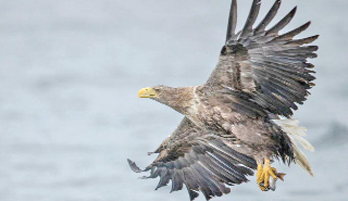 Sea eagles spotted in UK after 100 years
