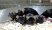 'Space pups': Mouse sperm stored on ISS produces healthy young