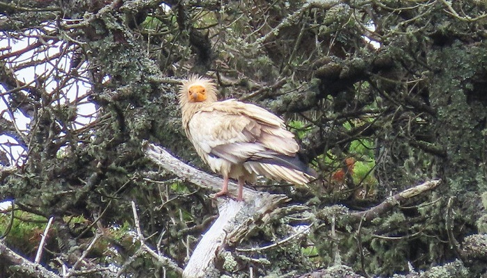 Isles of Scilly: Egyptian vulture seen in UK for first time in 150 years
