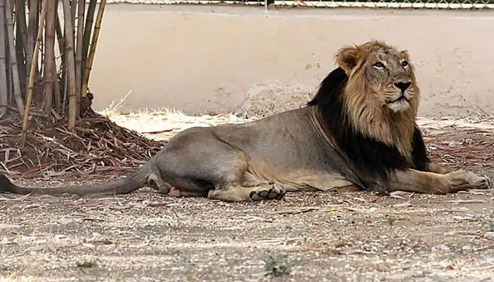 Another Asiatic lion dies of Covid-19 at Chennai zoo