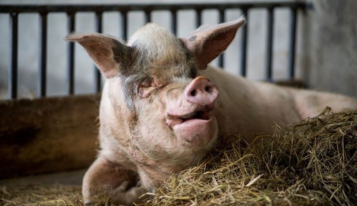 Pig that survived 2008 Chinese earthquake dies