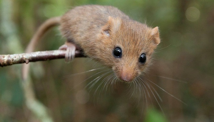 Thousandth dormouse brought back to the wild threatened mammals