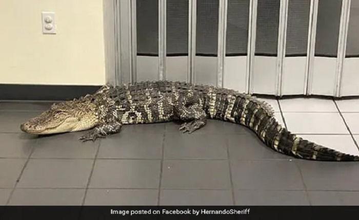 7-foot-long alligator invades post office