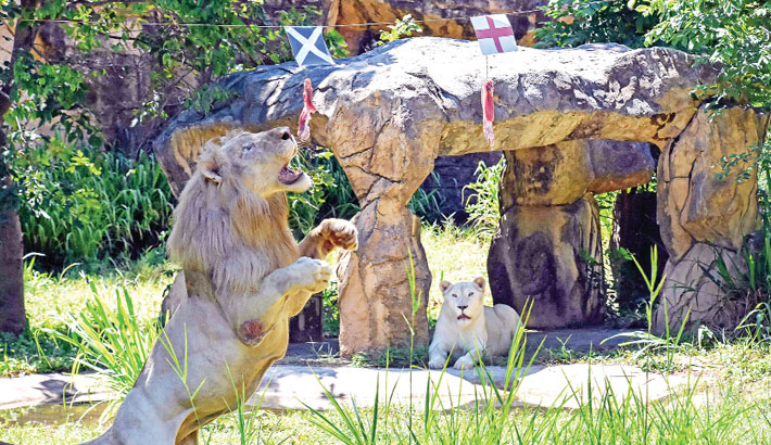 """A five-year-old white boy (L), lion, lunges at a piece of meat hanging under the flag of Scotland, instead of the piece under the England flag, set up to see the big cat """"predict"""" the outcome of Euro 2020 matches at Khon Kaen Zoo in Khon Kaen in northeast Thailand Friday. —AFP Photo"""