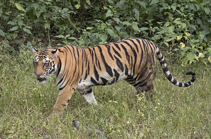 Tigress captured 15 months after entering UP factory