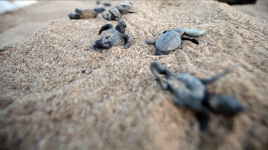 Pakistan Losing Nesting Ground For Sea Turtles