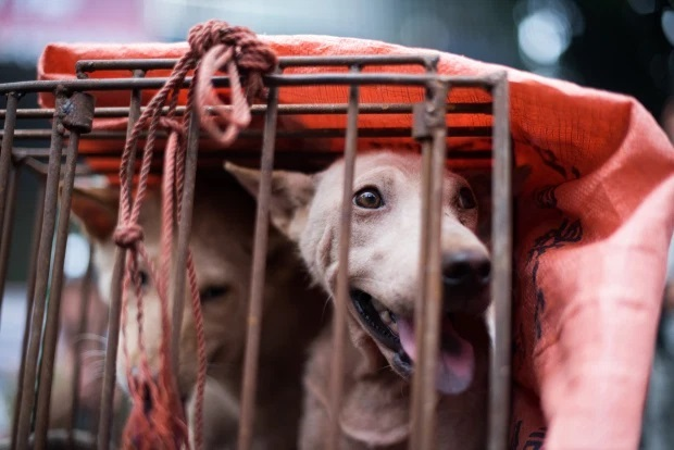 Fury as dog meat festival gets underway in China with 5,000 to be butchered and eaten over 10 days