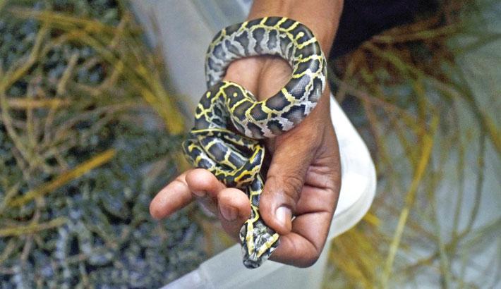 28 pythons born at Ctg Zoo