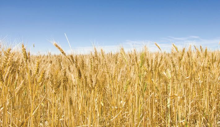 Wheat production sharply falls in Bangladesh