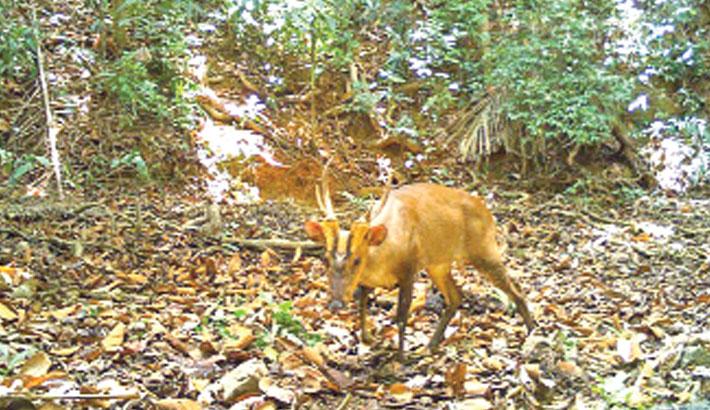 Rare giant barking deer seen in Cambodia