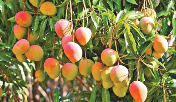 Mango export fails to grow despite higher yields