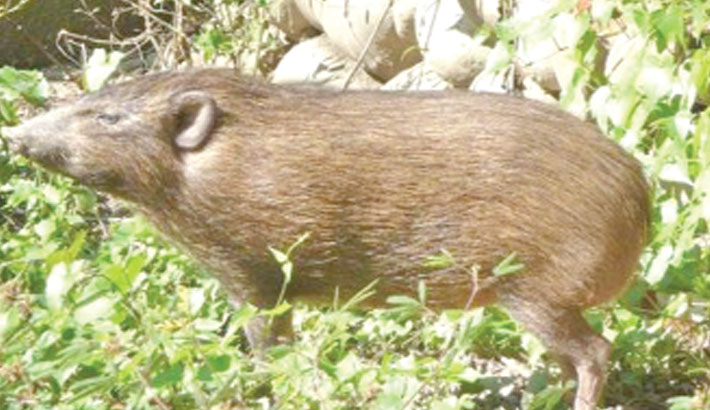 World's smallest hog released into wild