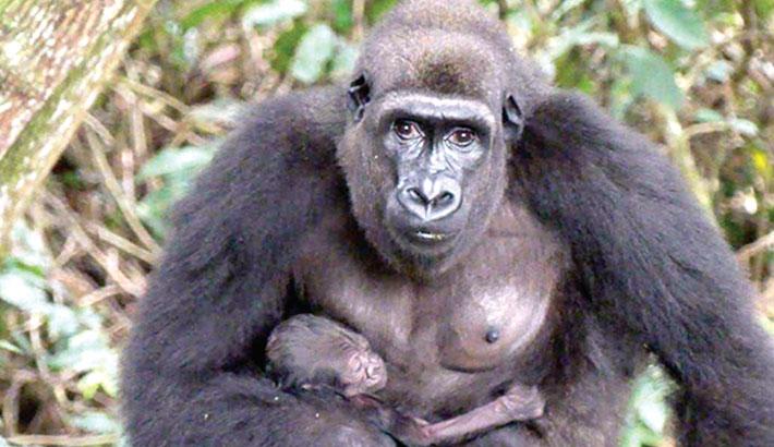Captive-bred gorillas give birth in wild