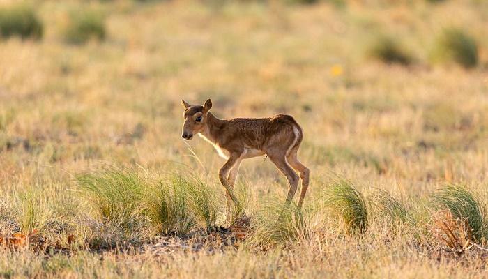 Critically endangered antelope saiga makes comeback