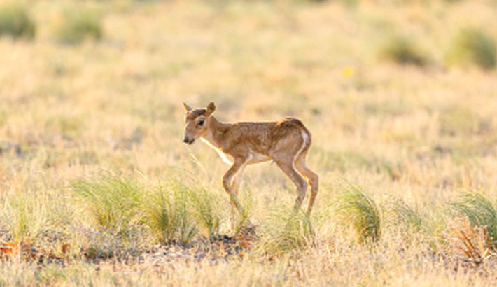 Critically endangered antelope makes comeback