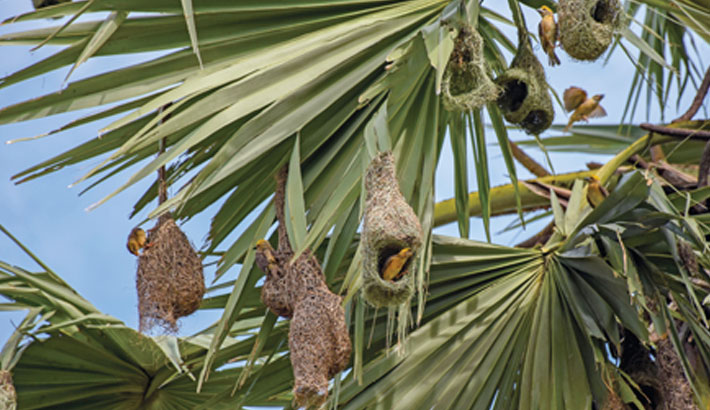 Weaver birds are known for their elaborately interwoven nest made from leaf fibres like a basket. In the photo taken on Monday, weaver birds are seen busy making their nests on a palm tree in Hathazari upazila of Chattogram district. Rabin chowdhury