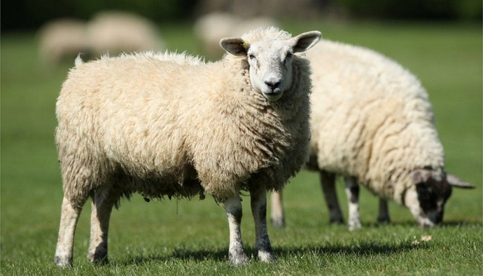 NZ farmer convicted for animal neglect after 226 sheep are euthanized