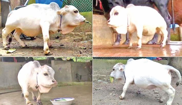 'Rani' the smallest cow in the world!