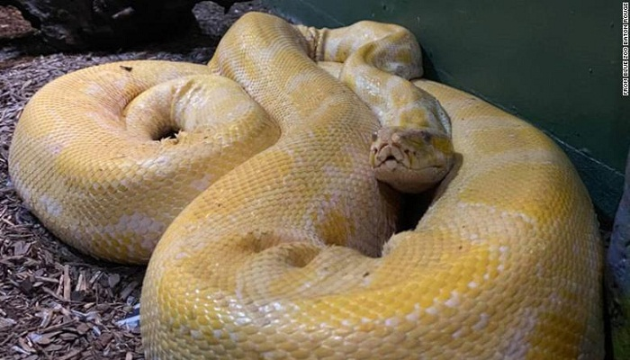 A 12-foot Burmese python has been loose in a Louisiana mall store for days