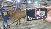 Online cattle sale gaining momentum