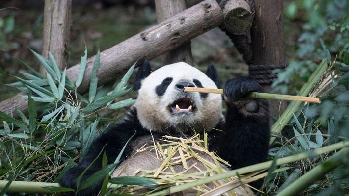 Giant pandas no longer endangered but still vulnerable, says China