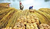 Bumper jute production expected in Faridpur