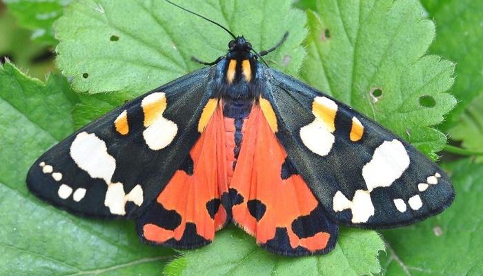 Nature: Backyard moth spotting rises during lockdown