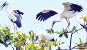Egrets find RMCH greenery as safe heaven
