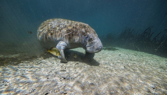 Florida breaks manatee death record in first six months of 2021