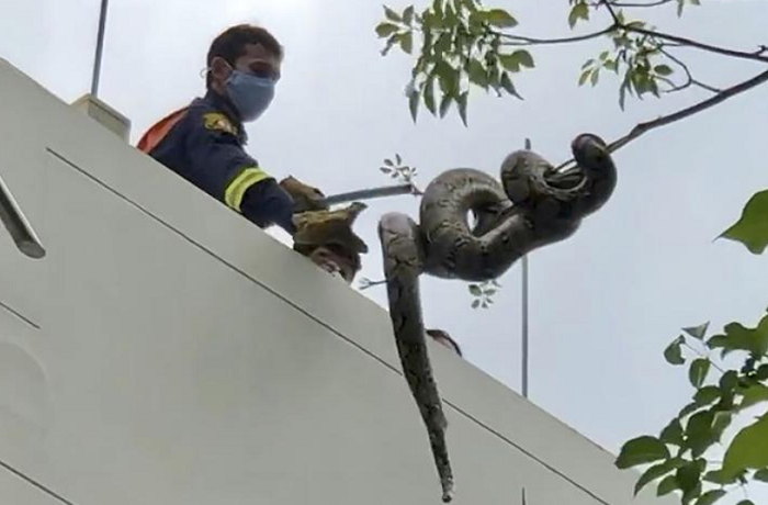 Don't look up! Bangkok's slitherers keep snake catchers busy