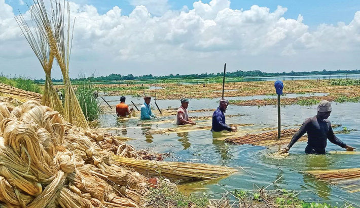 Farmers are busy separating jute fibre from stalks in a water body at Sarkerpara village in Naldanga Upazila of Natore district. The photo was taken on Friday.— Star Mail