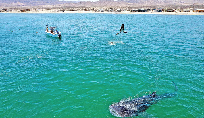 Aerial view a whale shark (Rhincodon Typu) swimming near a boat with visitors in the Sea of Cortez at Bahia de los Angeles, Baja California state, Mexico on Saturday. The whale sharks sighting season in Bahia de los Angeles goes from July to November.