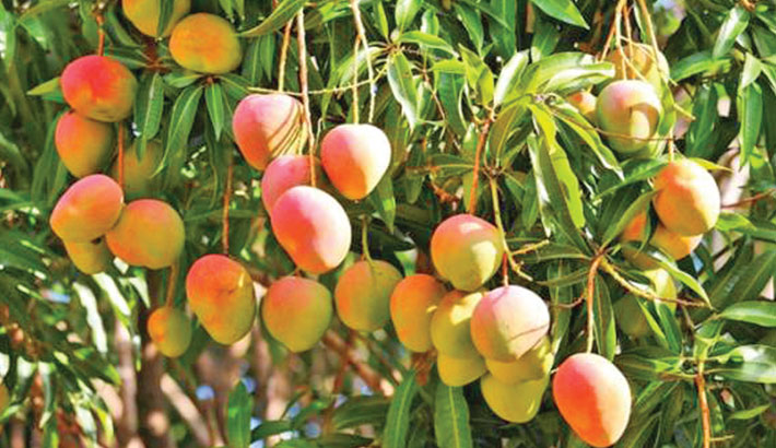 'Govt takes initiatives to boost mango export'
