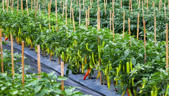 Chilli farming under CPEC to expand over 5000 acres in Pakistan