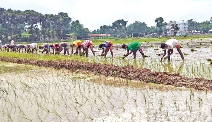 Farmers are busy transplanting Aman seedlings at a field in New Police Linepara under Tupamari Union of Nilphamari Sadar Upazila. The photo was taken on Friday.— Sun Photo