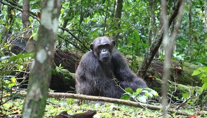Chimpanzees have been spotted attacking and killing gorillas in the wild for the first time