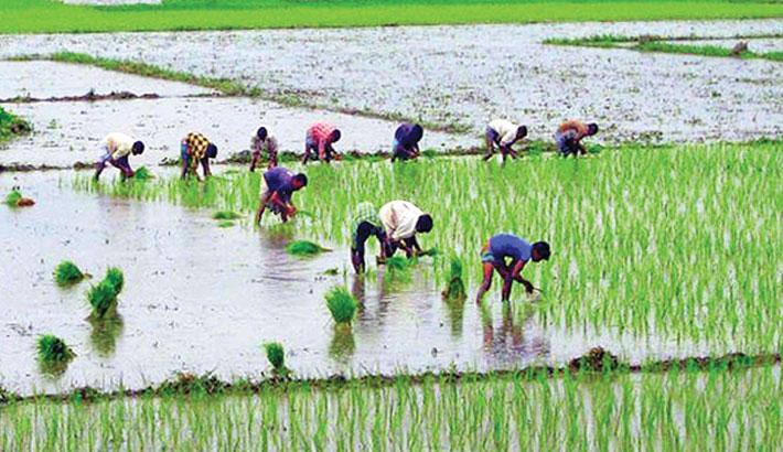 Farmers busy in transplanting Aman seedlings in Rangpur
