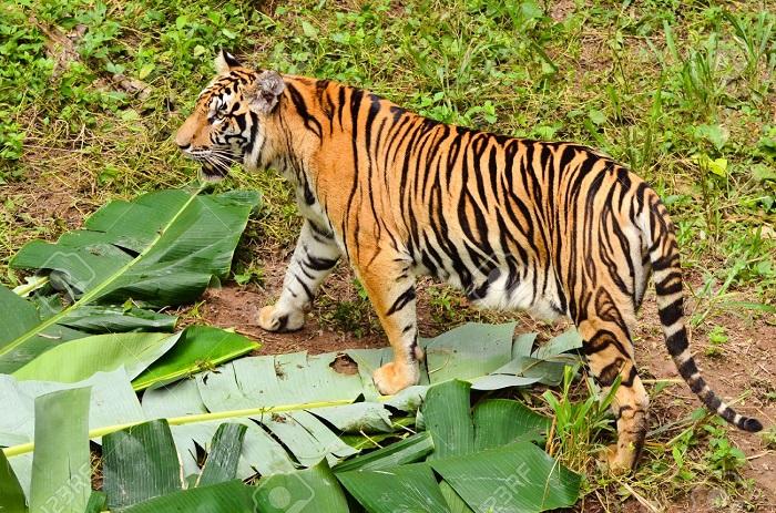 Safe habitat for tigers in Sundarbans will be ensured: Deputy Minister