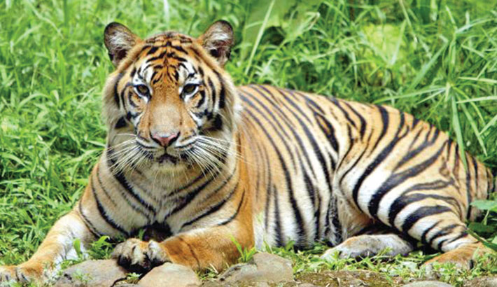 2 tigers infected with corona in Indonesia